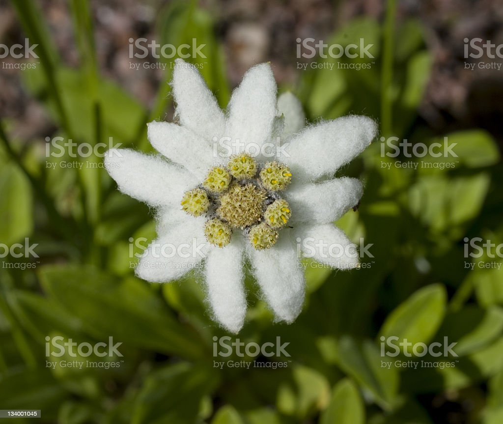 Edelweiss flower royalty-free stock photo