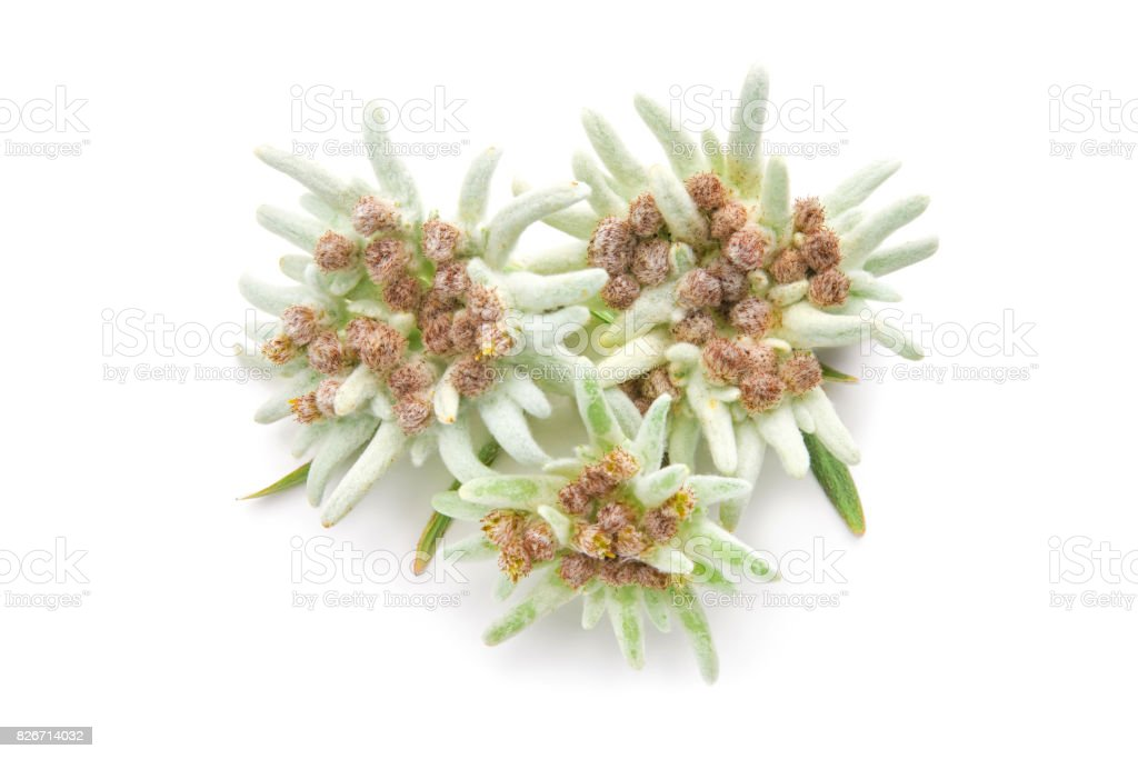 Edelweiss flowers isolated over white stock photo