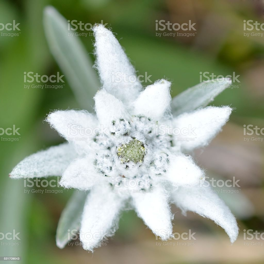 Edelweiss in nature. Rare alpine flower. stock photo
