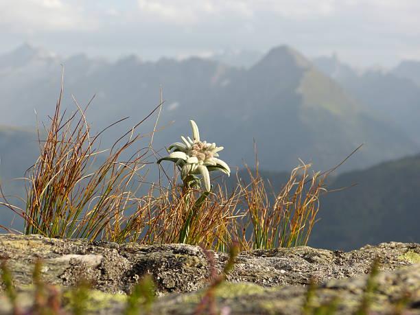 Edelweiss in der hohe Berge – Foto