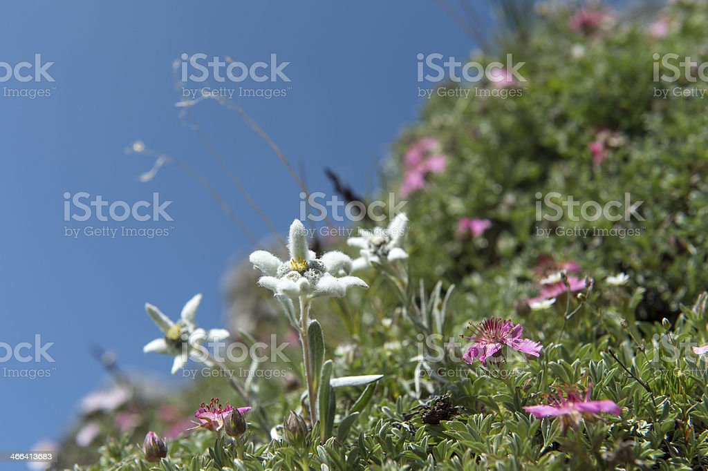 Edelweiss in the wild - nature royalty-free stock photo