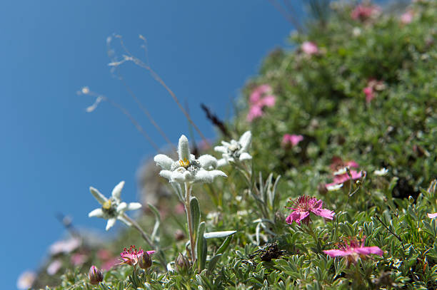 Edelweiss im wild-Natur – Foto
