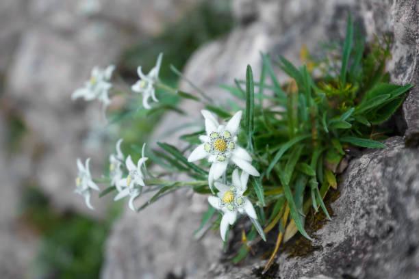 Edelweiss auf einem Felsen (Leontopodium Alpinum) – Foto
