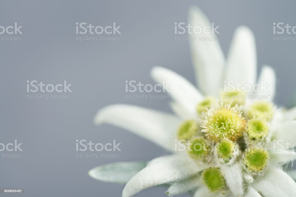 Edelweiss on gray background stock photo