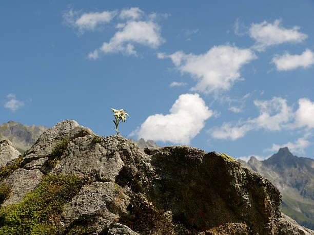 Edelweiss on the rocks – Foto