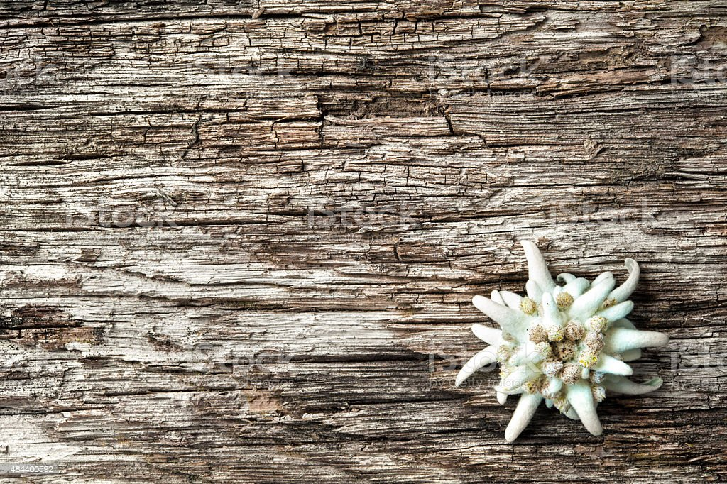 Edelweiss on wooden background stock photo