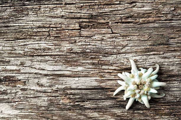 edelweiss mit hölzernem hintergrund - sprüche über reisen stock-fotos und bilder