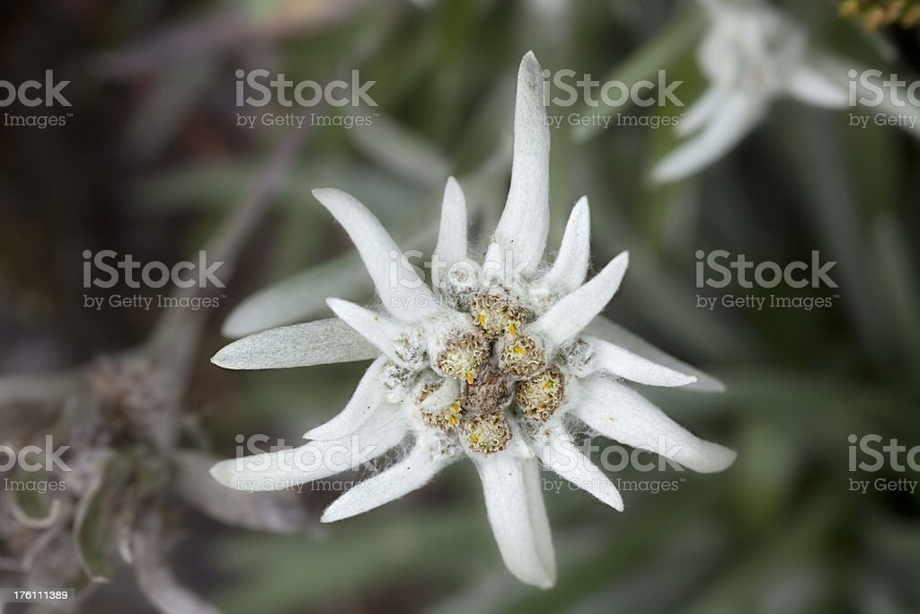 Edelweiss. royalty-free stock photo