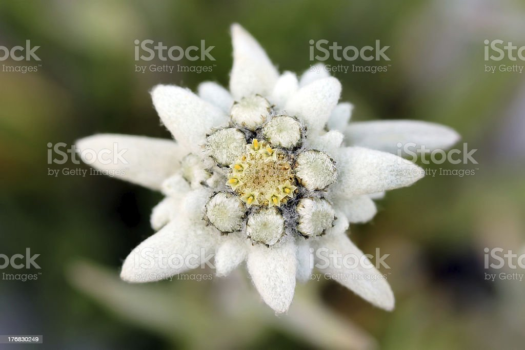 """Edelweiss (Leontopodium alpinum) """"Edelweiss (Leontopodium alpinum) is one of the best-known rare flowers. This small white looking alpine flower is apearing in countless legends and tales in different European cultures. It normally grows around 2000-2900m altitude, but in some areas of Europe they can be find as low as 600m (Romanian Carpathians).More related images:"""" Austria Stock Photo"""