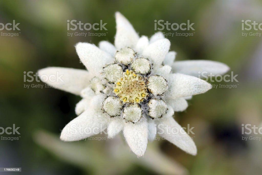 Edelweiss (Leontopodium alpinum) stock photo