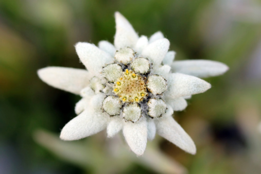 Edelweiss Stock Photo - Download Image Now