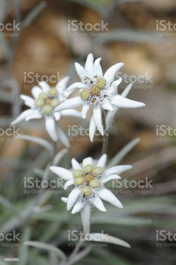 Edelweiss (Daisy Family) royalty-free stock photo