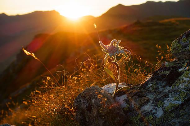 Edelweiss – Foto