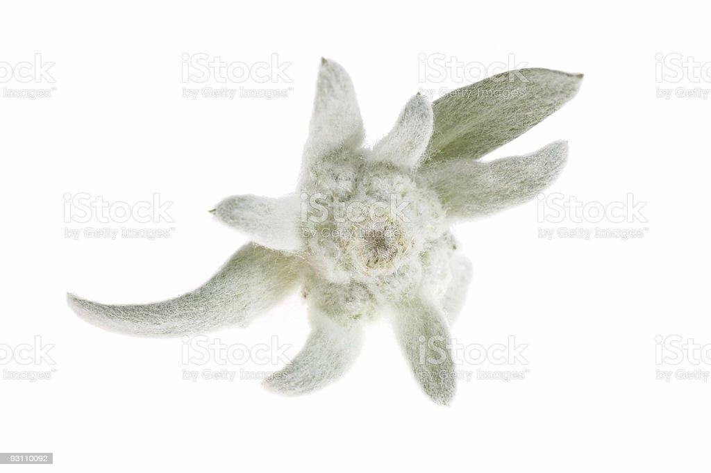 edelweiss - Royalty-free Aslanyağı Stok görsel