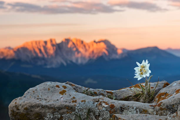 Edelweiss (Leontopodium nivale) with Alpenglow at Catinaccio, Latemar Mountain Group stock photo