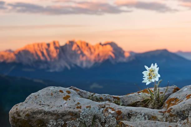 edelweiss (leontopodium nivale) with alpenglow at catinaccio, latemar mountain group - швейцария стоковые фото и изображения
