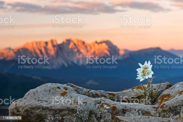 Photo of Edelweiss (Leontopodium nivale) with Alpenglow at Catinaccio, Latemar Mountain Group