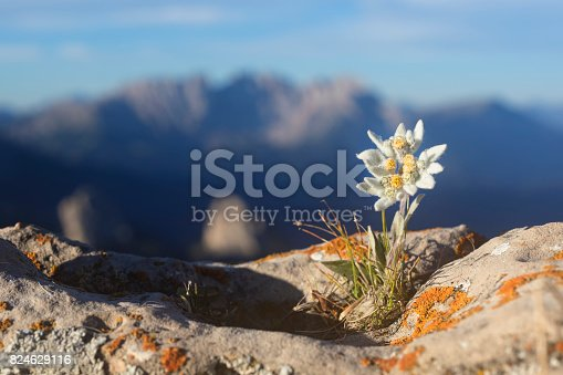 European Alps, Flower, Europe, Plant, Dolomites