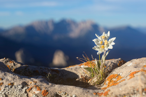 Edelweiss with Mountain in background - Alps