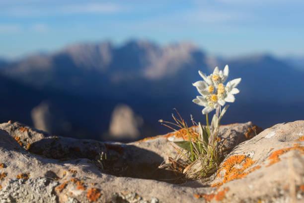 edelweiß mit berg im hintergrund - alpen - seltene pflanzen stock-fotos und bilder