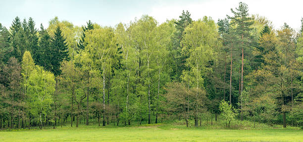 Edge of a mixed european forest in spring. stock photo
