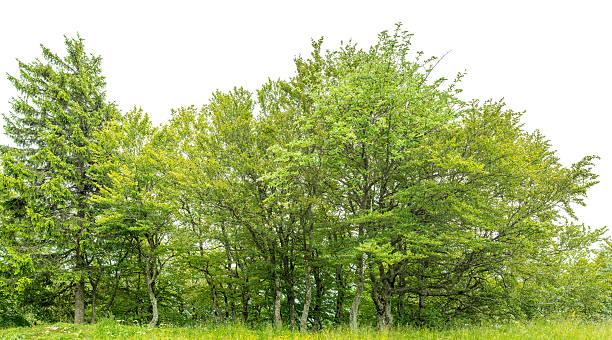 Borda de um nativo madeira isolada no branco com meadow. - foto de acervo