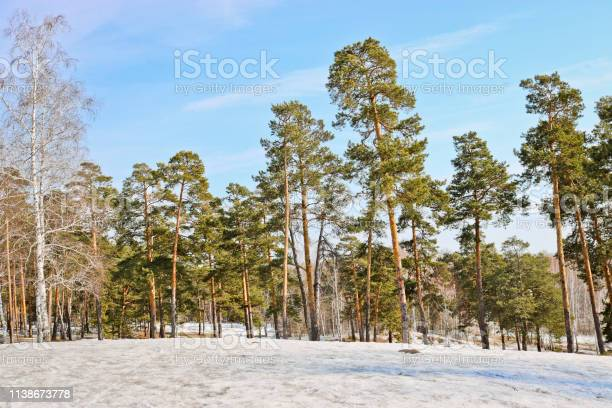 Photo of Edge of a pine forest in winter