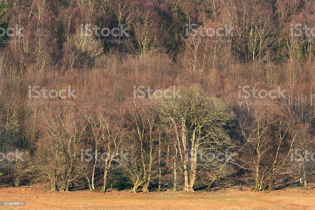 Edge of deciduous forest in Winter stock photo