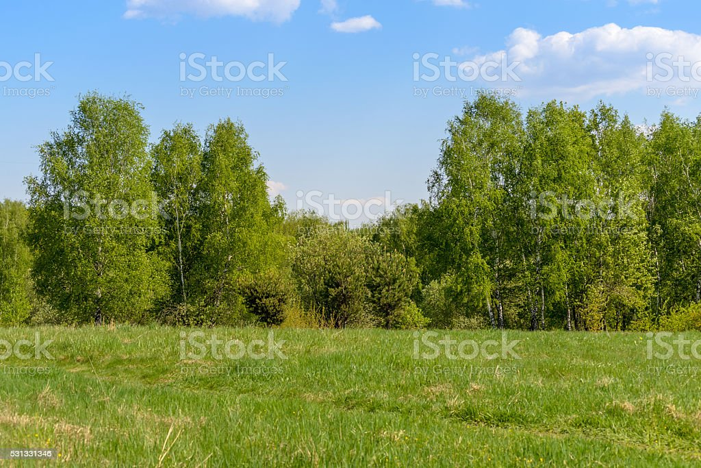 Edge of spring green forest. Birches stock photo