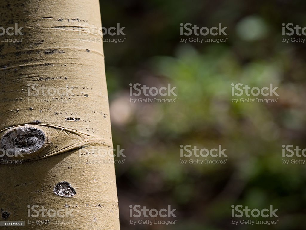 Edge of the aspens royalty-free stock photo