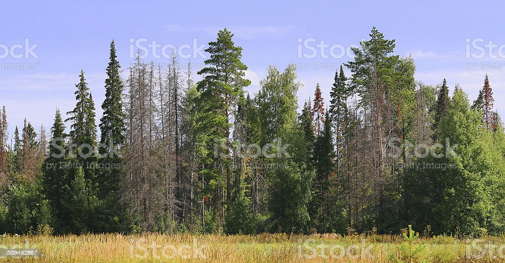 edge of the forest with dead trees stock photo
