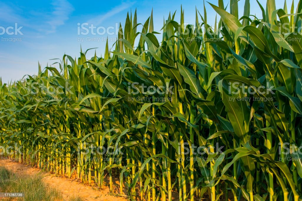 Edge Row Of a Farms Cornstalks Diminishing In Perspective stock photo