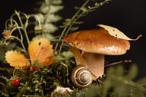 Edible boletus mushroom with yellow leaf on the cap and cute snail with horns among the grass in the autumn forest