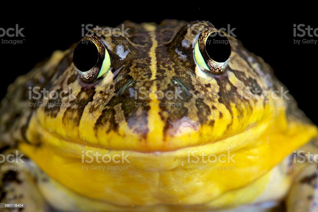 Edible bullfrog (Pyxicephalus edulis) stock photo