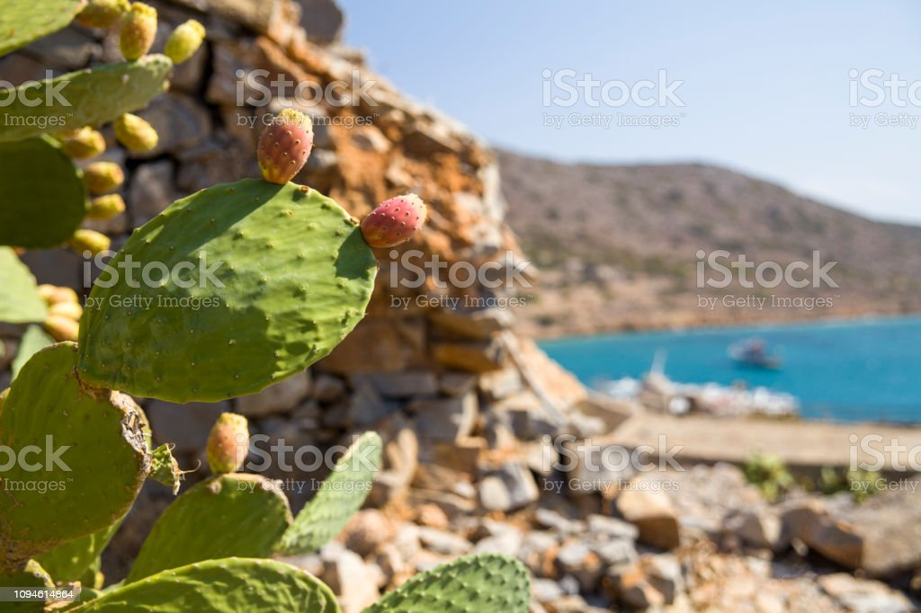 Edible cactus fruits. Opuntia edible, indian fig plant with spines and edible fruits. – zdjęcie