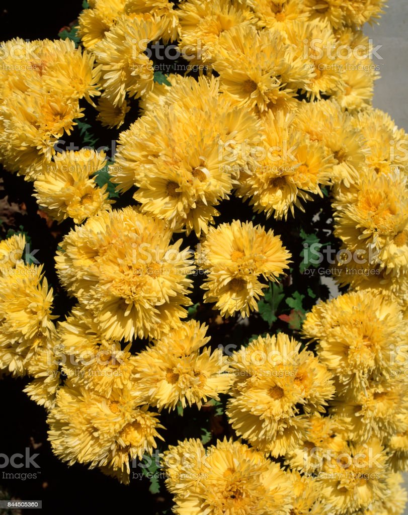 Edible Chrysanthemum stock photo