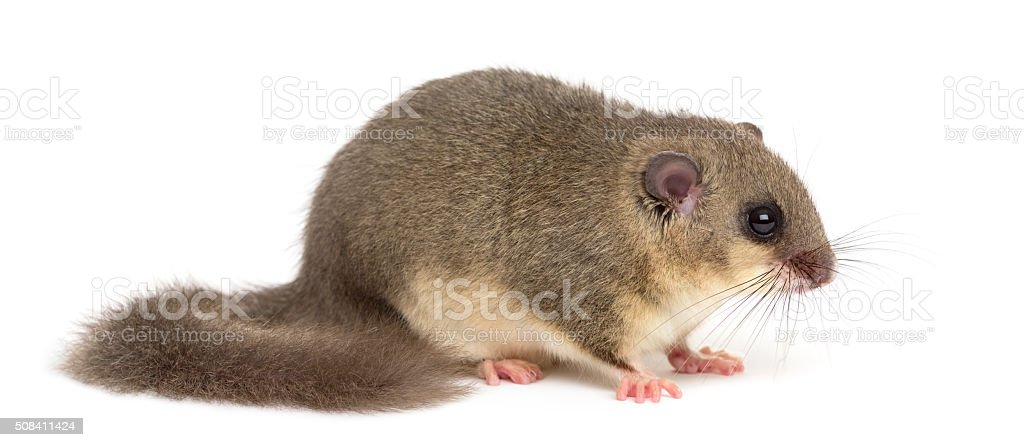 Edible dormouse in front of a white background stock photo