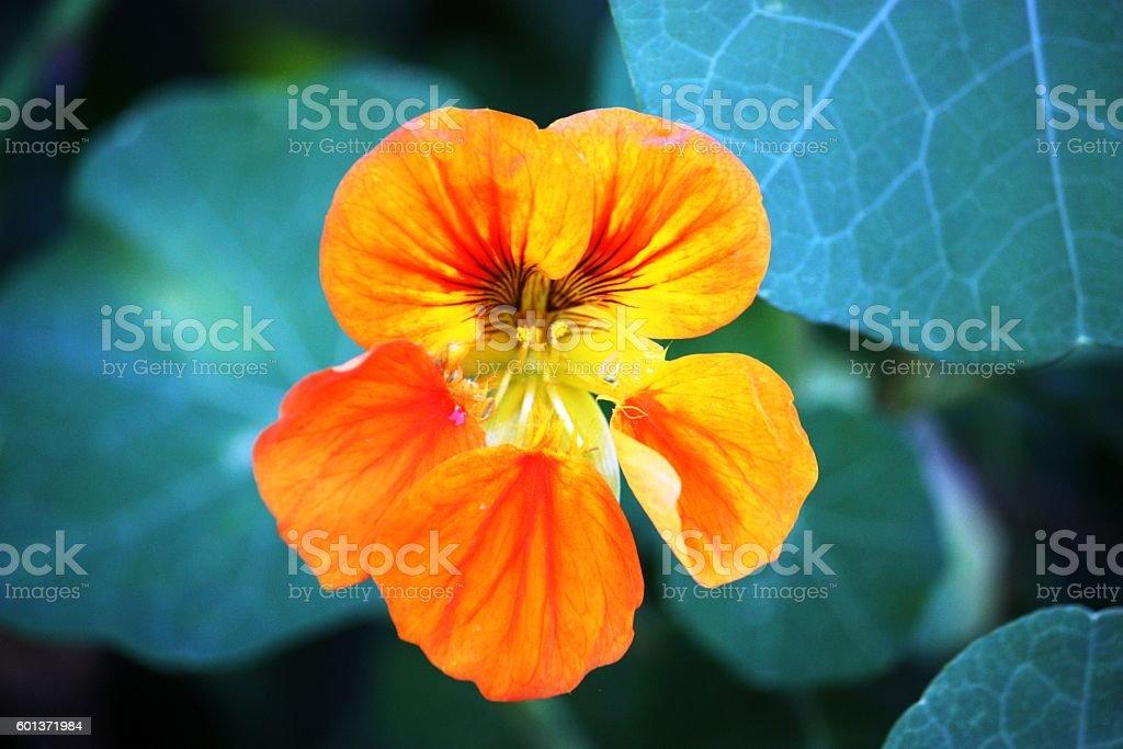 edible flower of nasturtium stock photo