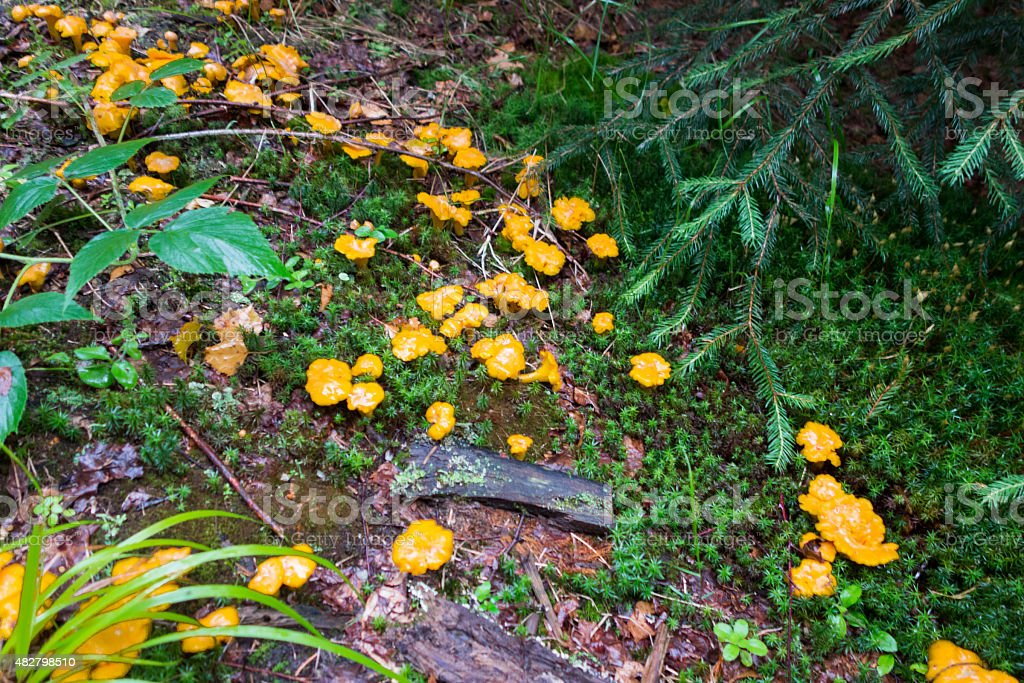 Edible Forest  Mushrooms stock photo