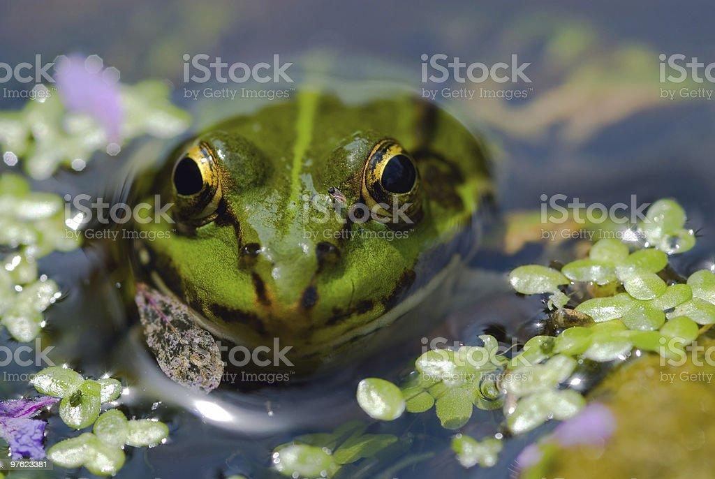 Edible Frog in pond 03 royaltyfri bildbanksbilder
