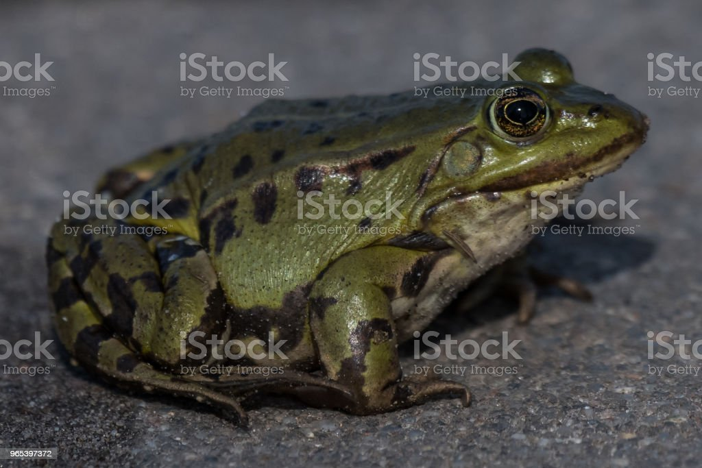 Essbare Frosch außer Esculentus Rana esculenta - Lizenzfrei Amphibie Stock-Foto
