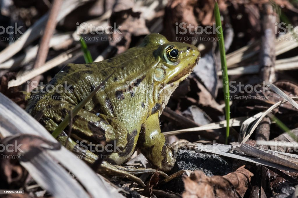 Edible frog Pelophylax esculentus Rana esculenta royalty-free stock photo