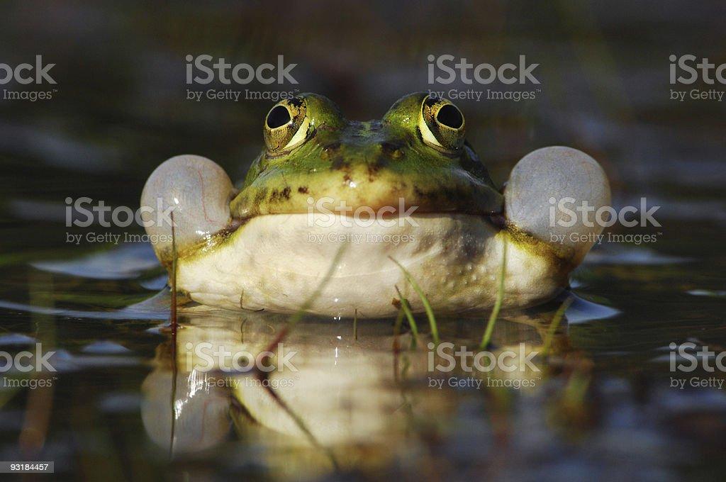 Edible Frog stock photo
