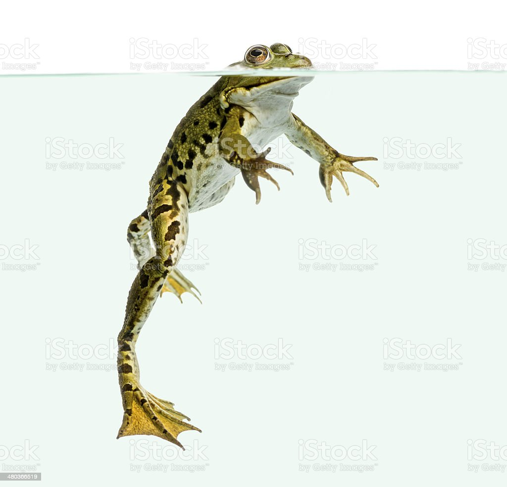 Edible Frog swimming at the surface of water royalty-free stock photo
