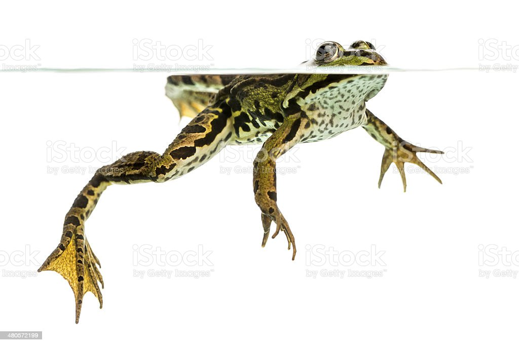 Edible Frog swimming at the surface, viewed from below royalty-free stock photo