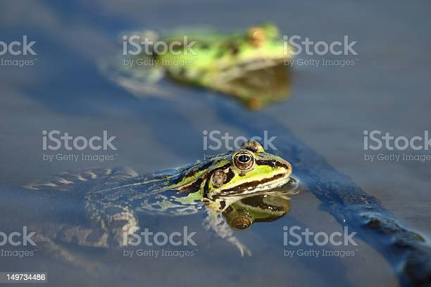 Photo of Edible green frogs