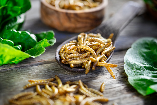 Sandwich or burger with edible insects - mealworms (Tenebrio molitor). Novel food concept - insect