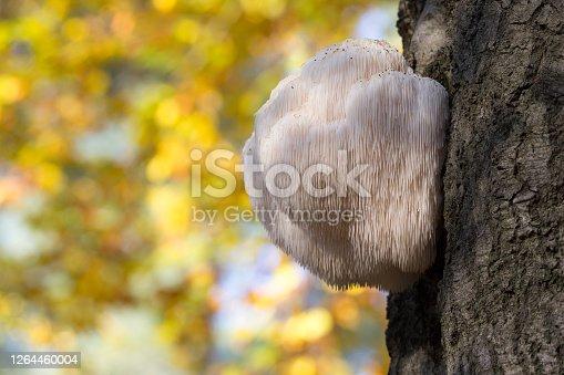 Edible Lion's Mane Mushroom (Hericium erinaceus) in the Netherlands