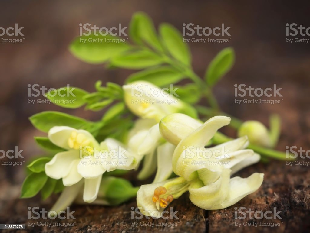Edible moringa flowers with green leaves stock photo