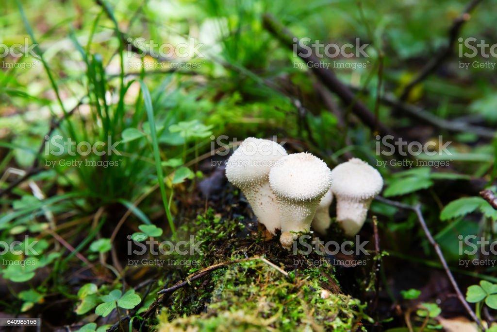Edible mushroom Common Puffball, Lycoperdon perlatum stock photo